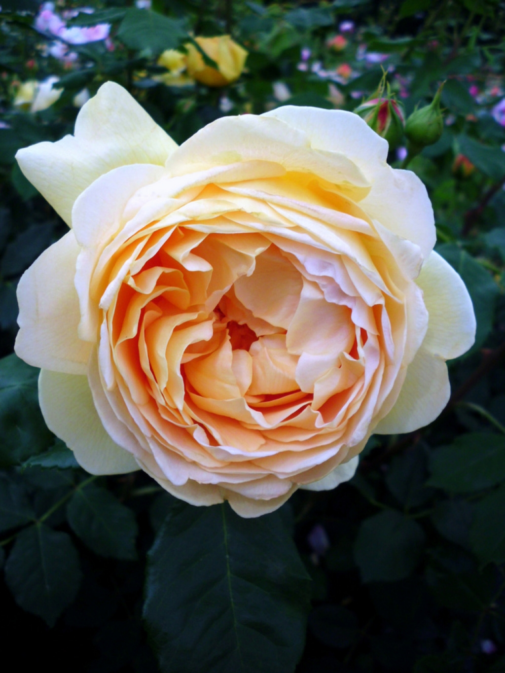 David Austin 'Golden Celebration'