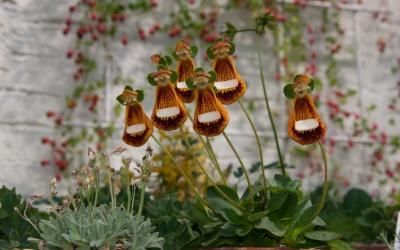 Calceolaria darwinii