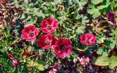 Geranium 'Jolly Jewel Purple'