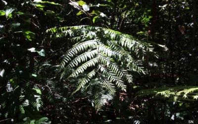 Angiopteris evecta Tropisches Australien Wedel werden bis zu 8 m lang Foto © 2016 Sabine Nittritz