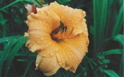 Cantaloupe Cut
