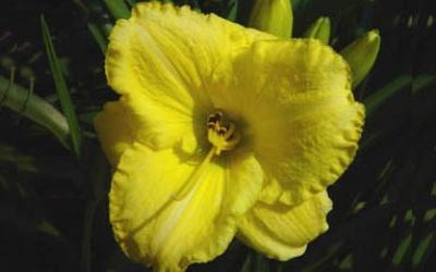 Taunus Lemon Lace