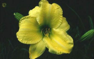 Berlin Lemon (Tamberg 88, tet)