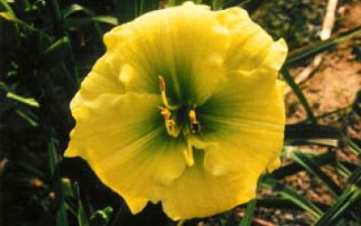 Taunus Sunshine (Juhr 94, dipl)