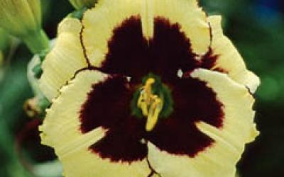 Breit-flache Blütenform - Panther Eyes (Stamile 02, tet)