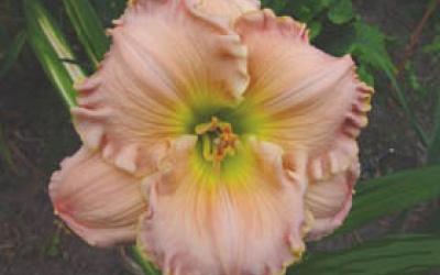 Breit-flache Blütenform - Shimmering Elegance (Stamile 94, tet)