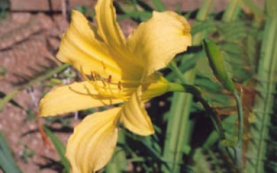 Hemerocallis thunbergii