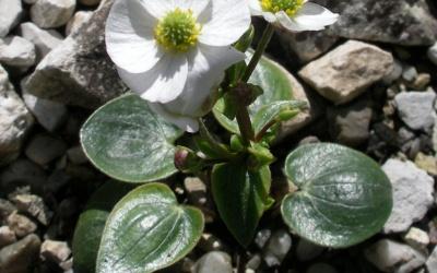 Ranunculus parnassifolius Foto © 2016 Eberhard Prößdorf