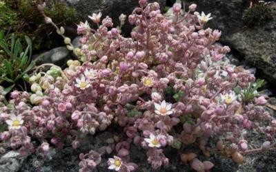 Sedum dassyphyllum Foto © 2016 Eberhard Prößdorf