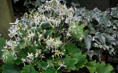 Saxifraga cortusifolia var. fortunei  Foto © 2016 Brigitte Moesch-de Haan