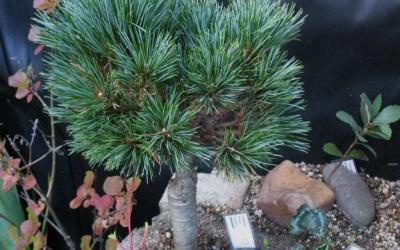 Pinus cembra 'Mongolei' Foto © 2016 Brigitte Moesch-de Haan