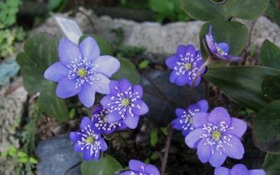 Hepatica nobilis Violet Foto © 2016 Brigitte Moesch-de Haan