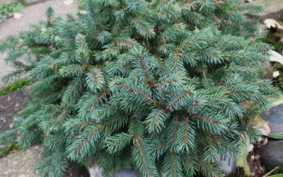 Picea glauca 'Echiniformis'  Foto © 2016 Brigitte Moesch-de Haan