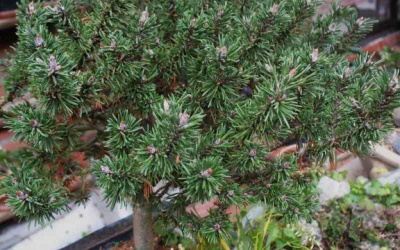 Pinus mugo 'Alberta Riegel' Foto © 2016 Brigitte Moesch-de Haan
