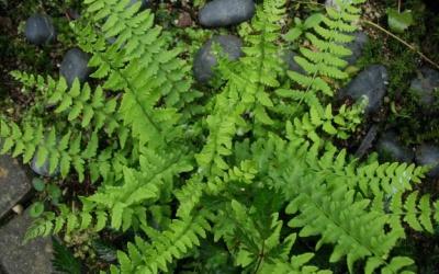 Woodsia subintermedia x polystichoides Foto © 2016 Brigitte Moesch-de Haan