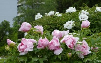 """'Hana Kisoi', der japanische """"Wetteifer der Blumen"""" Foto © 2013 Mona Rieger"""
