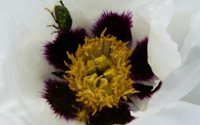 Die Käfer baden im Blütenstaub meiner Paeonia rockii ssp. linyanshanii Foto © 2013 Mona Rieger