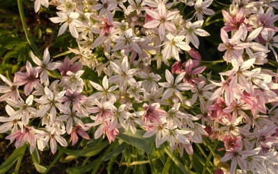 Allium, so weit man sehen kann hinterlassen sie ihre Brutzwiebeln