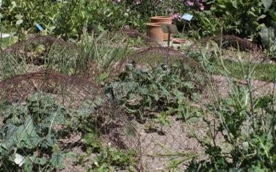 Kohlpflanzen unter Drahthauben   Foto © 2016 Angelika Pickel