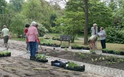 In schmalen Längsbändern werden jeweils mehrere Exemplare der Funkien im Klose-Beet gepflanzt. (c) Margit See