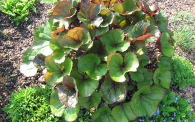 Ligularia dentata 'Desdemona'     Foto © 2009 Barbara Poschmann