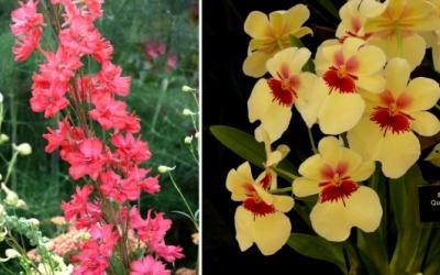 """Delphinium """"Red Caroline"""" und Miltonia"""
