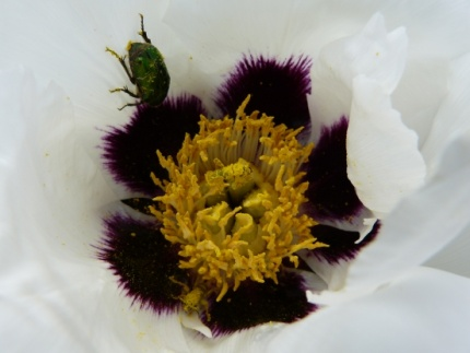 Paeonia rockii subsp. linyanshanii - Foto © 2013 Mona Rieger